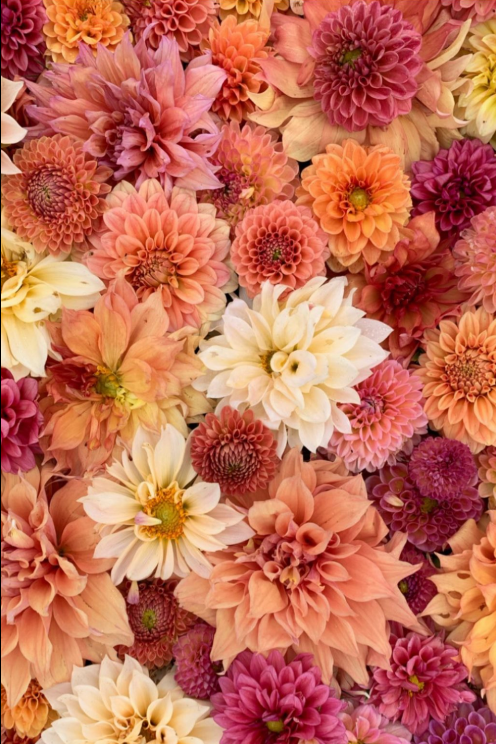 Fall mums in various colors